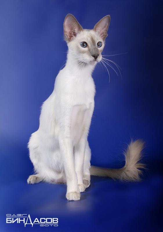 http://www.cats-club.ru/BEST_BREEDS_2008/Top_kitten_9.jpg