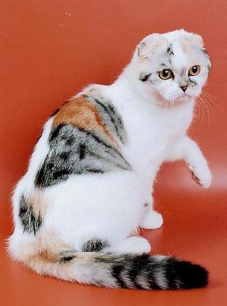 шотландские кошки фото - фотография 3.