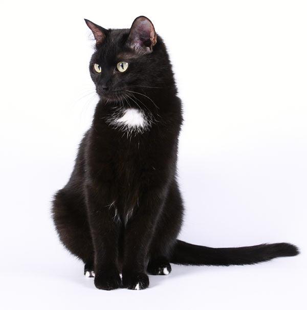 Черные с белым кошки