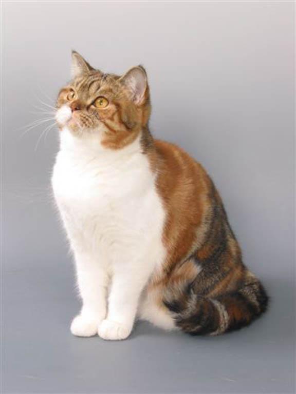 Шотландская кошка черепаховый окрас