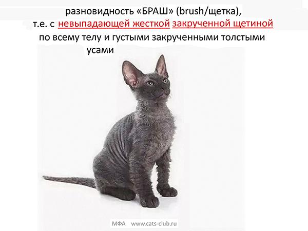 Донской сфинкс - БРАШ
