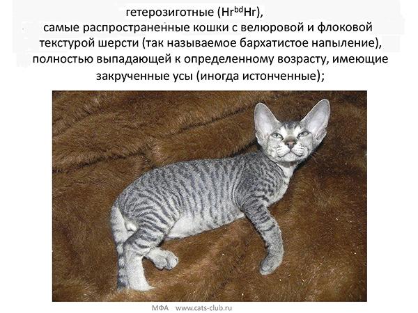 Донской сфинкс - велюр и флок