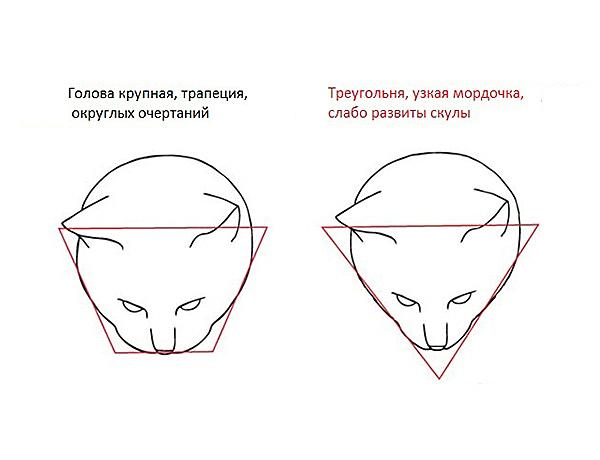 Курильский бобтейл – голова